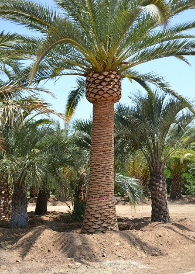 Canary Island Date Palm Trimmed-squashed