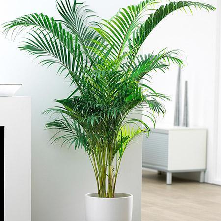 Palm Variety
