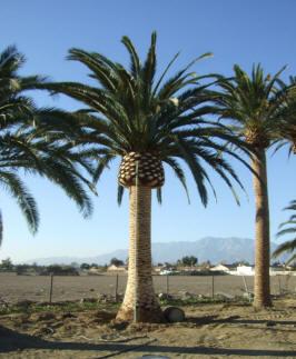 Palm Tree Sales